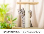 Silver Tabby Cat With Sratchin...