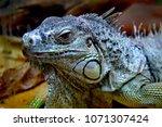 the green iguana  iguana iguana ... | Shutterstock . vector #1071307424