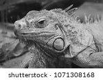 the green iguana  iguana iguana ... | Shutterstock . vector #1071308168