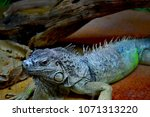 the green iguana  iguana iguana ... | Shutterstock . vector #1071313220