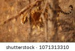 royal bengal tiger pose with... | Shutterstock . vector #1071313310