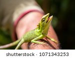 Stock photo portrait of a small green iguana on a man hand on a tropical island of bali indonesia close up 1071343253