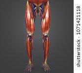 lower limbs muscles anatomy... | Shutterstock . vector #1071421118