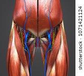 hip muscles with arteries veins ...   Shutterstock . vector #1071421124