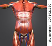 human muscular anatomy with...   Shutterstock . vector #1071421130