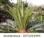 Phoenix Roebelenii  Pygmy Date...