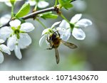 the bee collects nectar in the... | Shutterstock . vector #1071430670