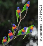 Australian Rainbow Lorikeets...
