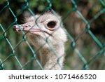 ostrich behind a wire   Shutterstock . vector #1071466520