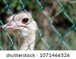ostrich behind a wire   Shutterstock . vector #1071466526
