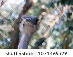 ostrich behind a wire   Shutterstock . vector #1071466529
