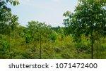 eucalyptus plantation for... | Shutterstock . vector #1071472400