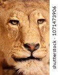 lioness close up portrait   Shutterstock . vector #1071473906