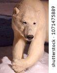 white polar bear   Shutterstock . vector #1071475889