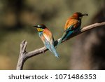 Bee Eater In The Dehesas Of...