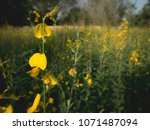 the yellow sunhemp flowers...   Shutterstock . vector #1071487094