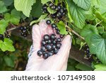 Hand in glove transparent picking of black currant - stock photo