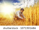 Indian Man Cutting Wheat With...