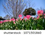 tulips in garden against a... | Shutterstock . vector #1071501860