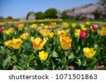 tulips in garden against a... | Shutterstock . vector #1071501863