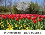 tulips in garden against a... | Shutterstock . vector #1071501866