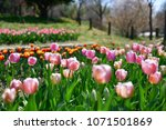 tulips in garden against a... | Shutterstock . vector #1071501869