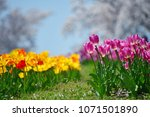 tulips in garden against a... | Shutterstock . vector #1071501890