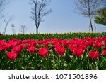 tulips in garden against a... | Shutterstock . vector #1071501896