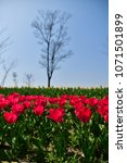 tulips in garden against a... | Shutterstock . vector #1071501899