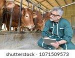 cow breeder checking on... | Shutterstock . vector #1071509573