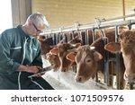cow breeder checking on... | Shutterstock . vector #1071509576