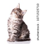 Stock photo maine coon kitten months old cat isolated on white background portrait of beautiful domestic 1071525710