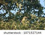 african green pigeon    well... | Shutterstock . vector #1071527144
