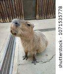 capybara in zoo   Shutterstock . vector #1071535778