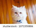 Cross Breed  Persian And...