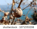 Small photo of Gall oak, Quercus infectoria tree, Aleppo oak or Manjakani closeup with branches, galls and blue sky in background on sunny winter day