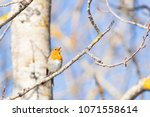 european robin  erithacus... | Shutterstock . vector #1071558614