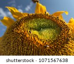 stingless bees are collecting... | Shutterstock . vector #1071567638