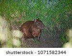 capybara in wildlife in brazil   Shutterstock . vector #1071582344