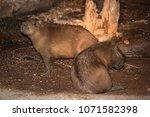 capybara in wildlife in brazil   Shutterstock . vector #1071582398