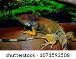 the  iguana  iguana iguana  is... | Shutterstock . vector #1071592508