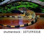 the  iguana  iguana iguana  is... | Shutterstock . vector #1071593318