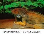 the  iguana  iguana iguana  is... | Shutterstock . vector #1071593684