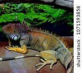 the  iguana  iguana iguana  is... | Shutterstock . vector #1071593858