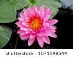 closeup pink lotus or pink...   Shutterstock . vector #1071598544