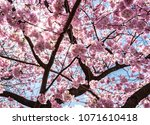 blooming cherry tree against... | Shutterstock . vector #1071610418