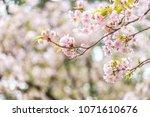 sakura blooming in spring at... | Shutterstock . vector #1071610676