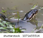 Small photo of Cottonmouth Snake Agkistrodon piscivorus