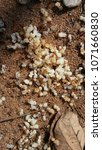 Small photo of RED ANT COLONY