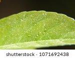 rain drops on macro green...   Shutterstock . vector #1071692438
